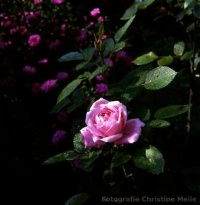 Rose Baroness Rothschild Foto Christine Meile