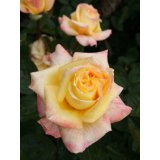 Rose Canary Foto Agel
