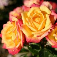Rose Little Sunset Foto Agel