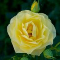 Rose Sunbeam Flower Circus Foto Agel