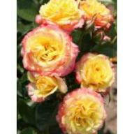 Rose Tropical Clementine Foto Agel