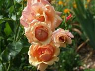 Rose Belle Epoque Foto Myroses