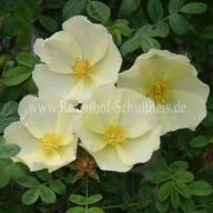 Rose Cantabrigiensis Foto Schultheis