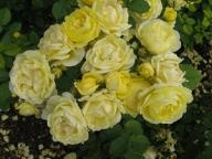 Rose Comtesse Dubarry Golden Border Foto Brandt