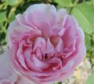 Rose Great Maiden`s Blush Foto Brandt