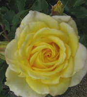 Rose Lemon Yellow Foto Brandt