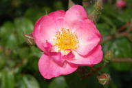 Rose Pink Star Foto Wikipedia