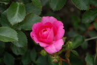 Rose Pink Traumland Foto Wikipedia