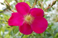 Rose Purple Haze Foto Wikipedia