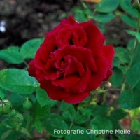 Rose Alfred Colomb Foto Meile