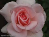 Rose A Whiter Shade of Pale Foto Rusch