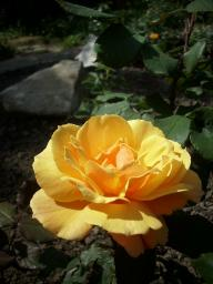 Rose About Face Pride of Cheshire Foto Myroses