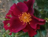Rose Manhattan Blue Foto Myroses