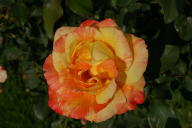 Rose Marvelle Foto Wikipedia
