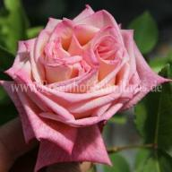 Rose Maman Cochet Foto Schultheis