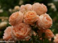 Rose Summer Dream Foto Rusch