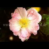 Rose Wildenfels rosa Foto Schultheis
