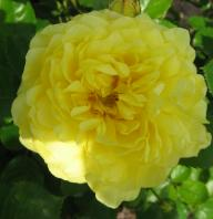 ROse Yellow Meilowe Foto Brandt